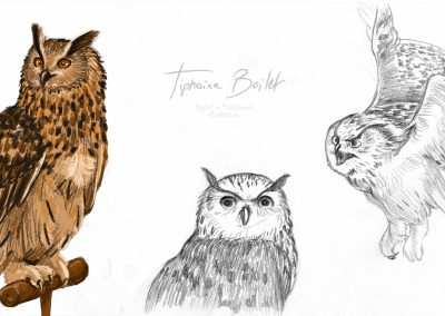 Croquis et illustration digital chouette | Tiphaine Boilet illustrateur freelance Nantes